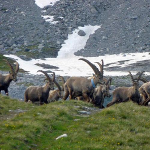 Randonnée observation du Bouquetins des Alpes